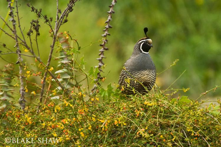 California quail 2