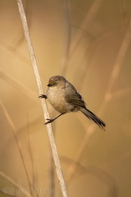 Bushtit, lake murray, san diego, birds, bokeh