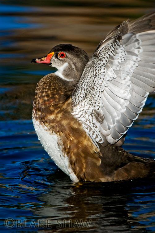 wood duck, santee lakes, san diego, california