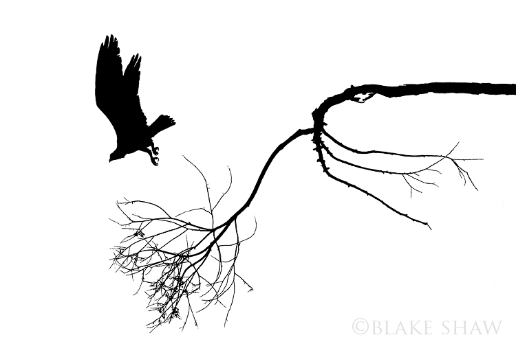 Osprey silhouette, flight, bird silhouette