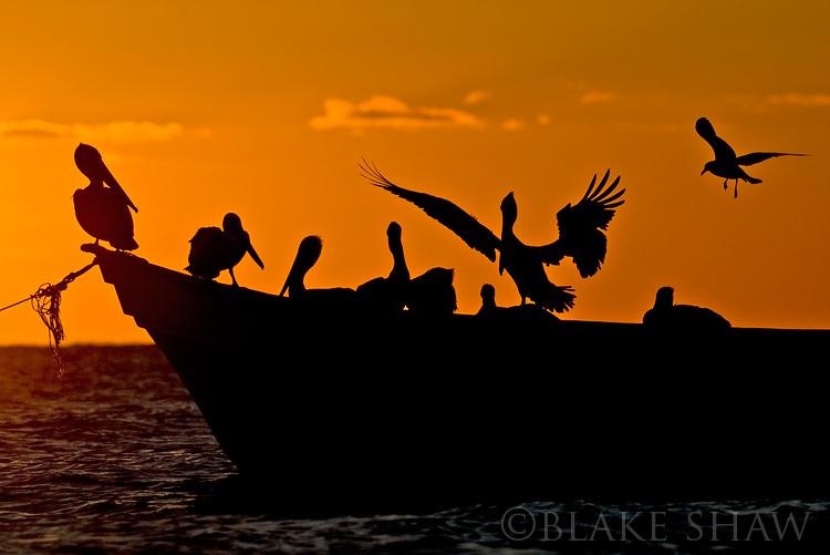 San felipe pelicans