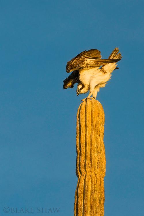 Osprey cardon san felipe 4 copy 2