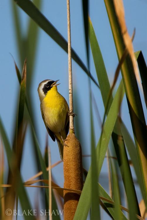 Common yellowthroat, lindo lake, san diego, lakeside, bird photography