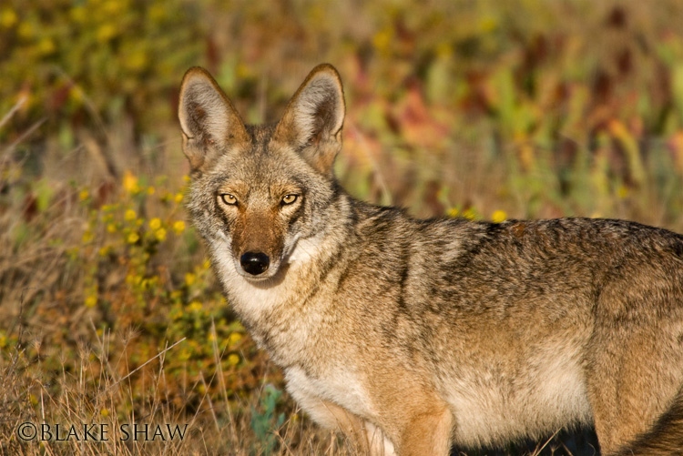 Coyote, ramona, san diego, california, back country