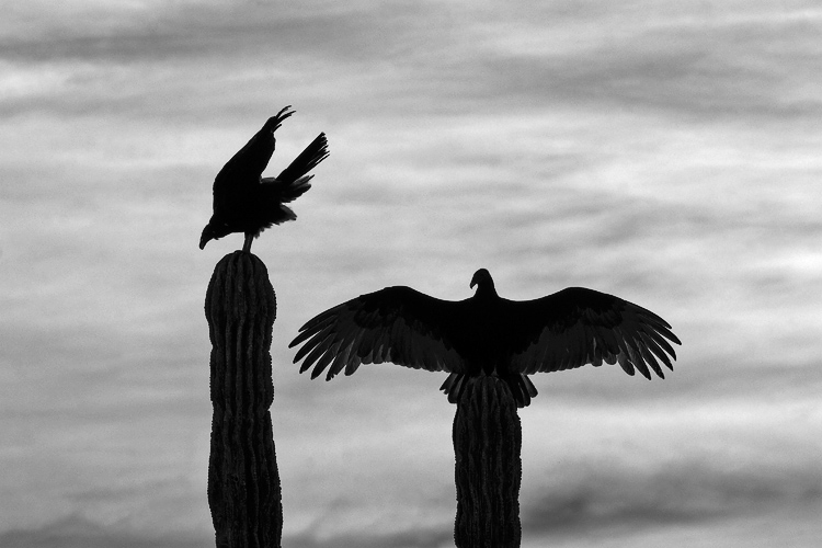 Turkey Vultures Silhouette Photo Abcs