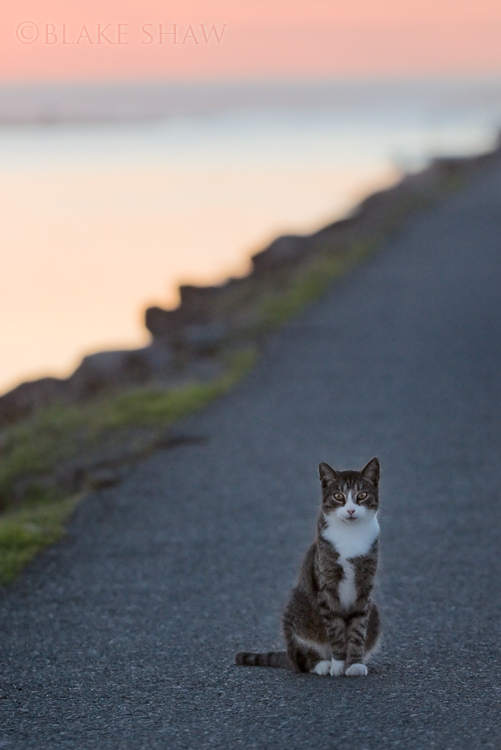 Feral cat sunset
