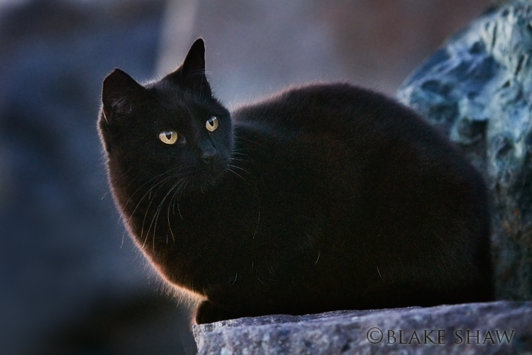 Feral cat 15