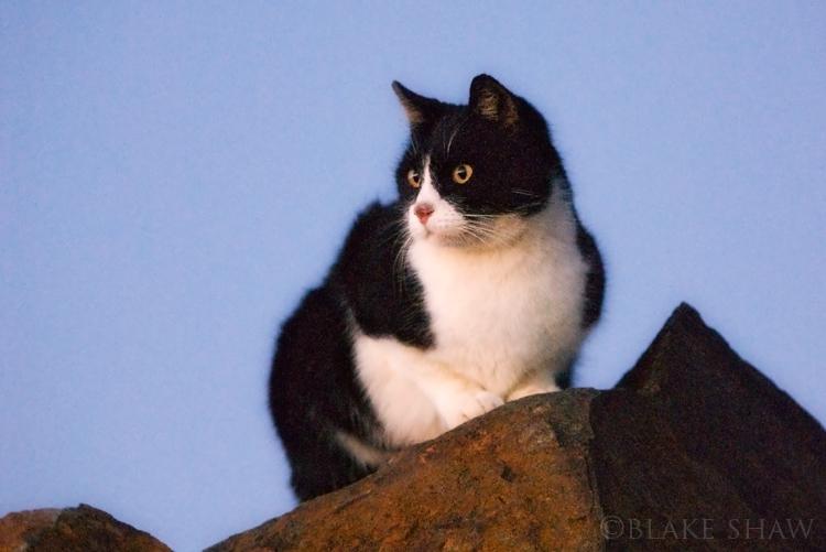 Feral cat 13
