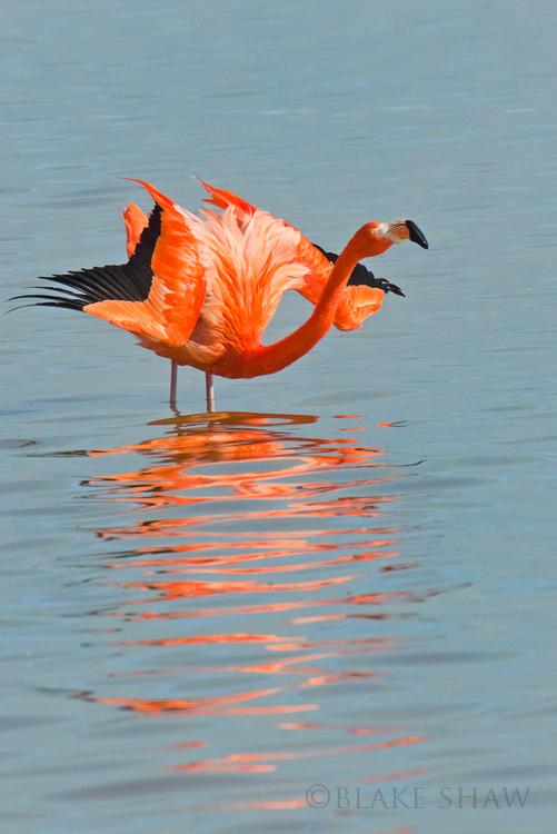 American flamingo rio lagartos copy