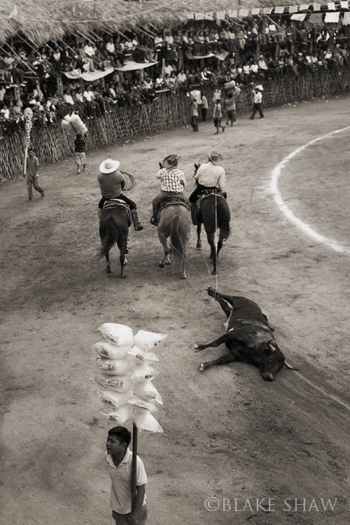 Tizimin bullfight dragging bull copy