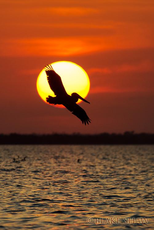Pelican san felipe yucatan