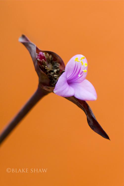 Izamal flower