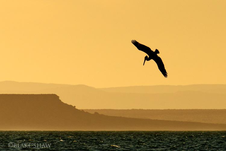 Pelican sunset san ignacio lagoon