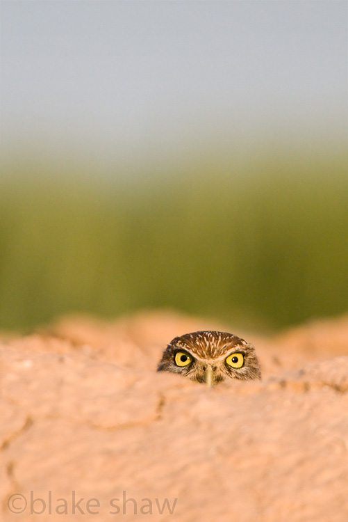 burrowing owl blake shaw