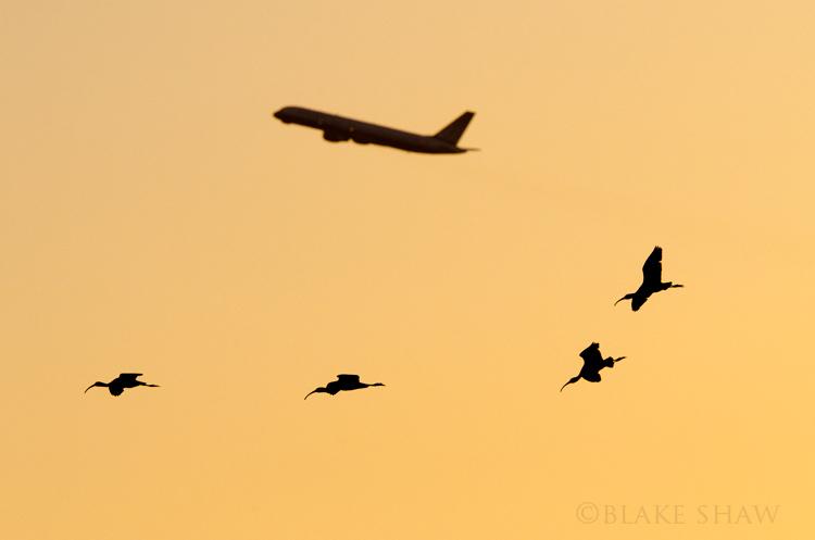 Ibises and jet