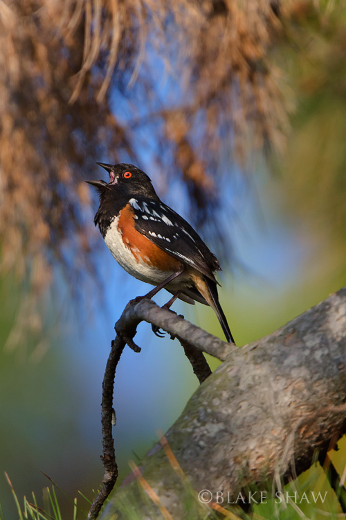 Spotted towhee san joaquin