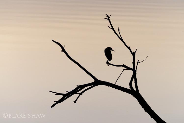 Black-crowned night heron salton sea silhouette copy