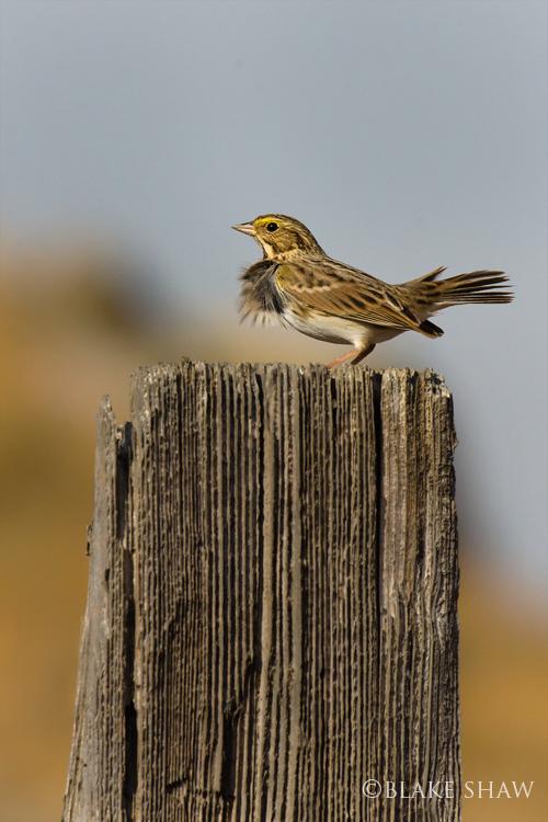 Savannah sparrow san jacinto