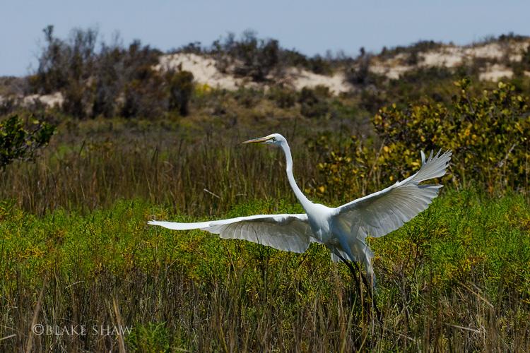 Great egret san ignacio
