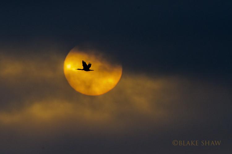 cormorant sunset blake shaw