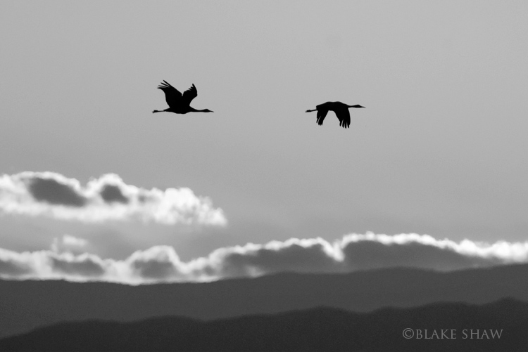 Sandhill cranes bw