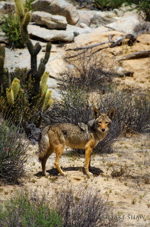 Coyote catavina