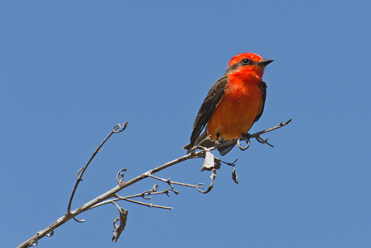 Vermillion flycatcher mulege