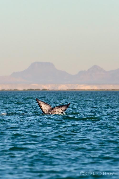 Whale tail san ignacio
