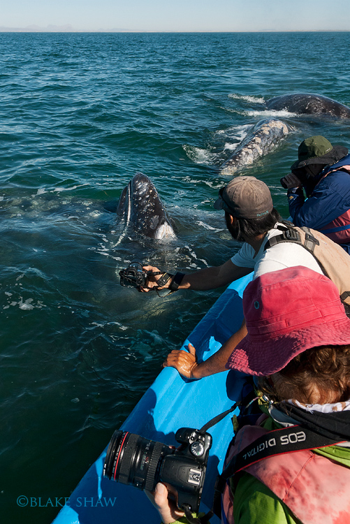 Gray whales 2