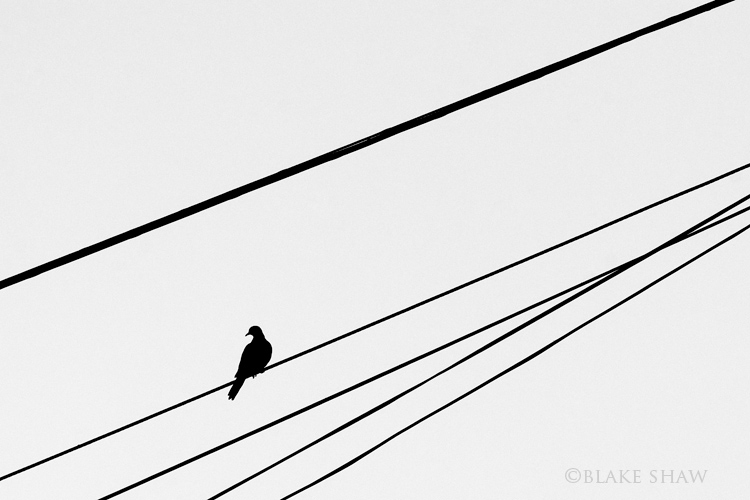 Dove, silhouette, blake shaw, bird