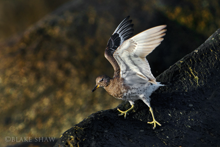 surfbird blake shaw bird photography