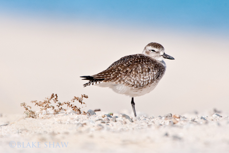 Black-bellied plover copy