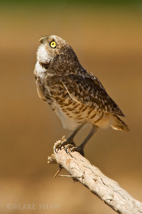 Burrowing owl looking up