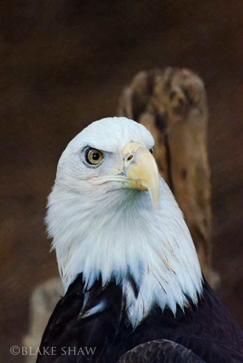 Bald eagle sdsp