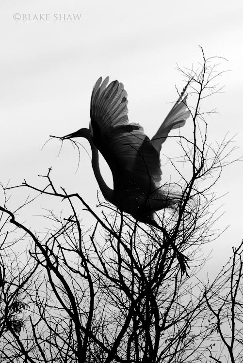 Great egret sdsp