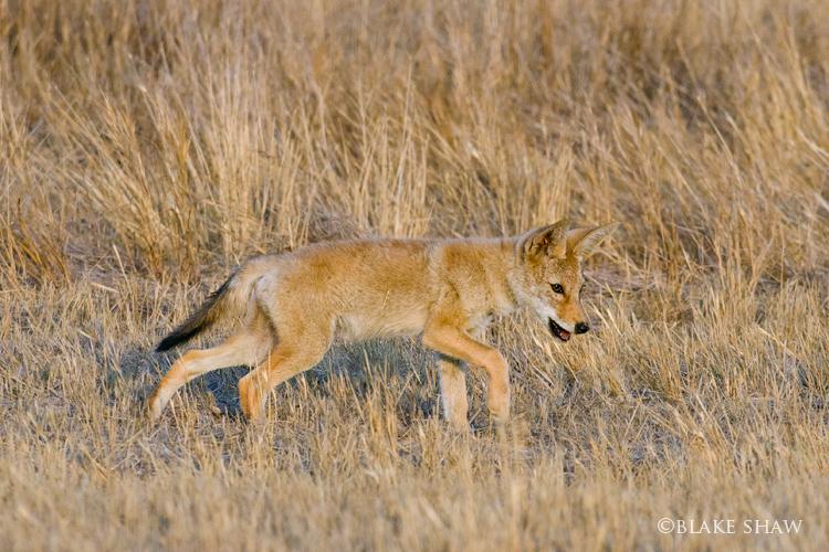 Coyote cub davis road