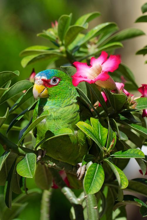 Parrot nohpat