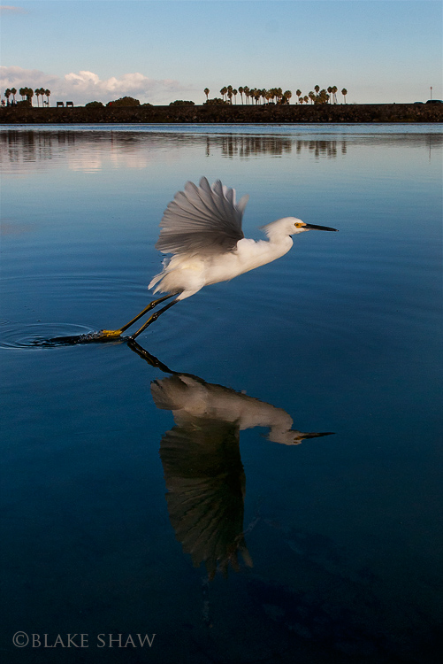 Snowy egret wide angle