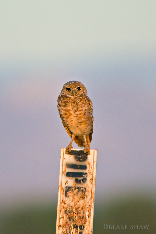 Burrowing owl 4 sunrise