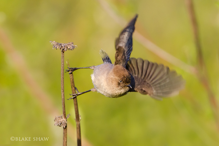 Bushtit flight