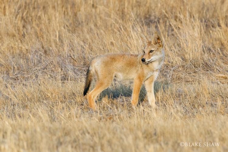 Coyote cub davis road 2