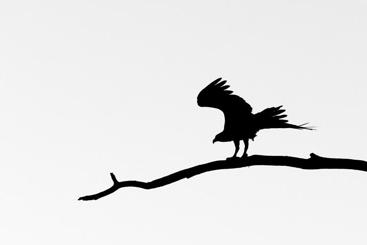 Osprey silhouette 2