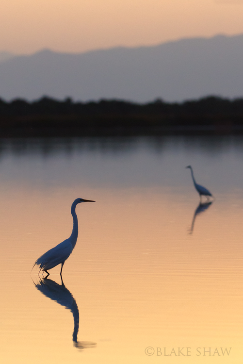 Great egrets silhouette