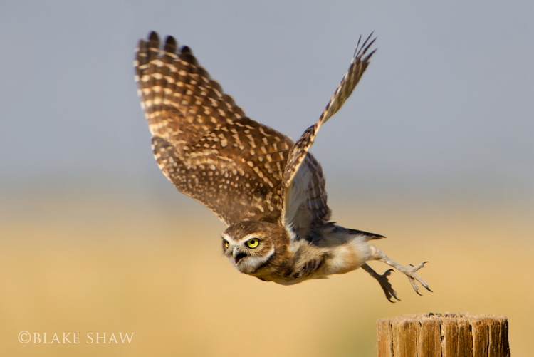 Burrowing owl flight
