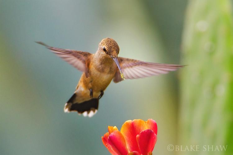 Selasphorus hummingbird 2