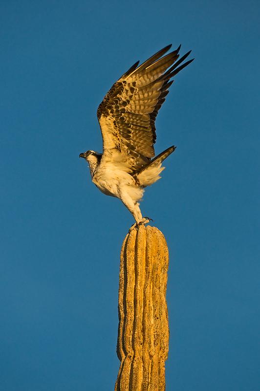 Osprey cardon san felipe