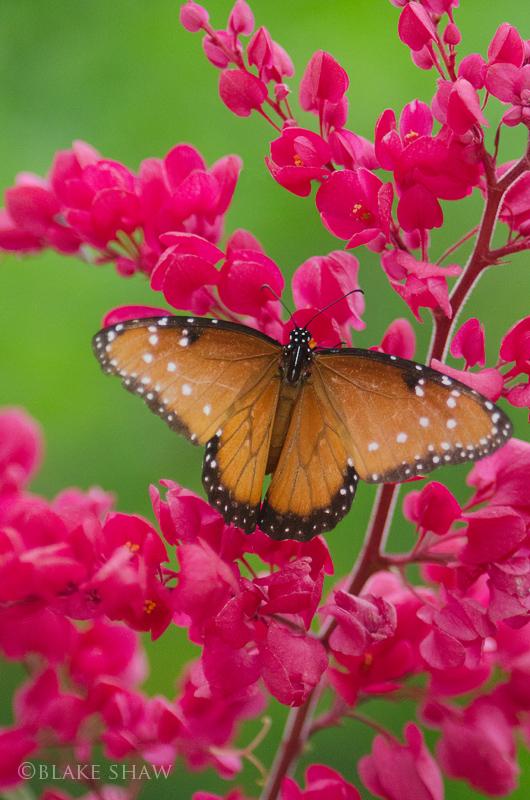 Baja butterfly