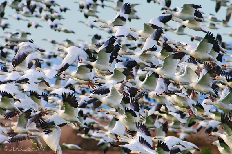 Snow geese sonny bono