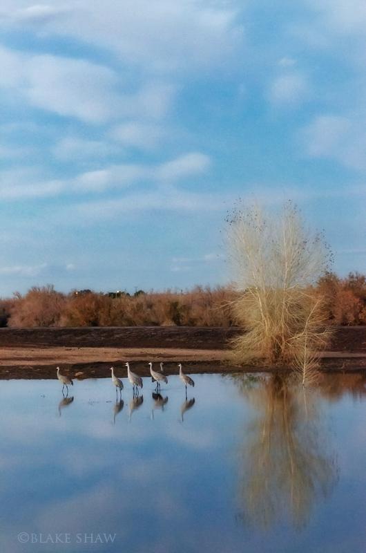 Sandhill cranes cibola pond