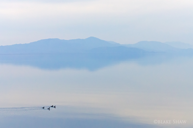 Salton sea grebes